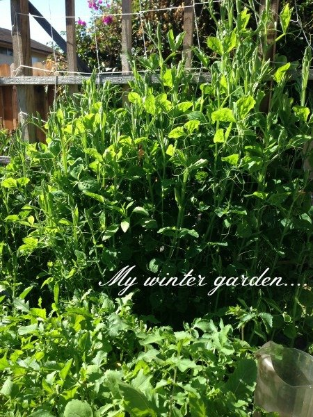 Post image for Mary, Mary, Quite Contrary…come see my garden
