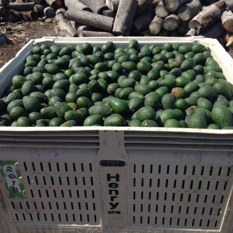 Avocados ready for market.