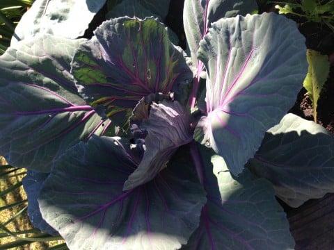 redcabbage1